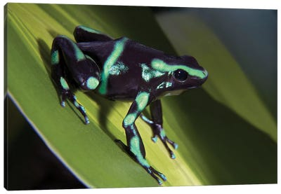 Green And Black Poison Dart Frog Portrait, Costa Rica Canvas Art Print