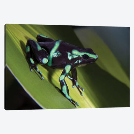 Green And Black Poison Dart Frog Portrait, Costa Rica 3-Piece Canvas #TFI432} by Tim Fitzharris Canvas Print
