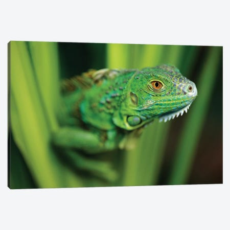 Green Iguana Amid Green Leaves, Roatan Island, Honduras 3-Piece Canvas #TFI433} by Tim Fitzharris Canvas Art Print