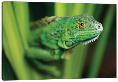 Green Iguana Amid Green Leaves, Roatan Island, Honduras Canvas Art Print