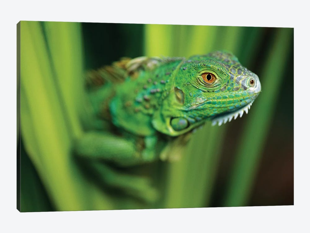 Green Iguana Amid Green Leaves, Roatan Island, Honduras by Tim Fitzharris 1-piece Art Print