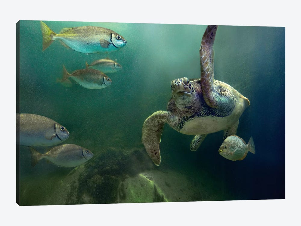 Green Sea Turtle And Fish, Sabah, Malaysia I by Tim Fitzharris 1-piece Canvas Print