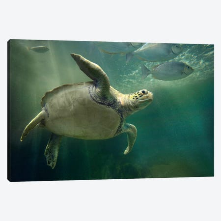 Green Sea Turtle And Fish, Sabah, Malaysia II 3-Piece Canvas #TFI436} by Tim Fitzharris Canvas Wall Art