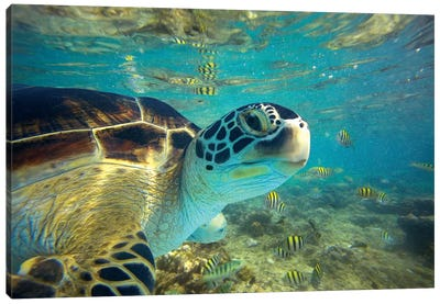 Green Sea Turtle, Balicasag Island, Philippines I Canvas Art Print