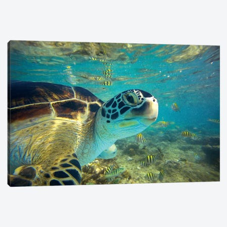 Green Sea Turtle, Balicasag Island, Philippines I Canvas Print #TFI437} by Tim Fitzharris Canvas Artwork