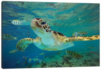 Green Sea Turtle, Balicasag Island, Philippines II Canvas Art Print