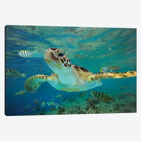 Green Sea Turtle, Balicasag Island, Philippines II Canvas Print #TFI438} by Tim Fitzharris Canvas Art Print