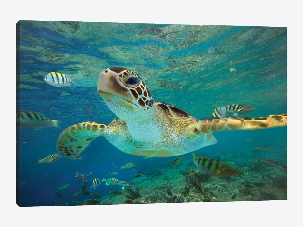 Green Sea Turtle, Balicasag Island, Philippines II by Tim Fitzharris 1-piece Canvas Artwork