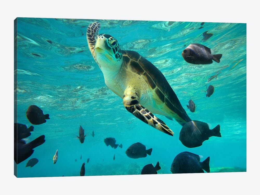 Green Sea Turtle, Balicasag Island, Philippines III by Tim Fitzharris 1-piece Canvas Art Print