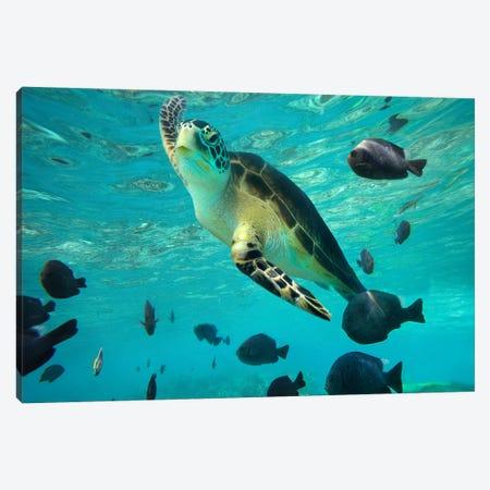 Green Sea Turtle, Balicasag Island, Philippines III 3-Piece Canvas #TFI439} by Tim Fitzharris Canvas Print