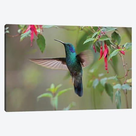 Green Violet-Ear Hummingbird Foraging, Costa Rica Canvas Print #TFI440} by Tim Fitzharris Canvas Wall Art
