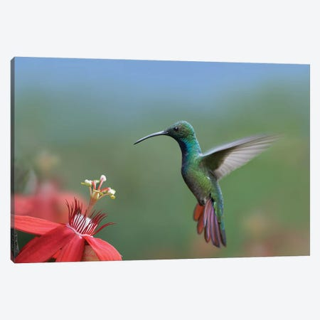 Green-Breasted Mango Hummingbird Male Foraging, Costa Rica Canvas Print #TFI441} by Tim Fitzharris Canvas Wall Art