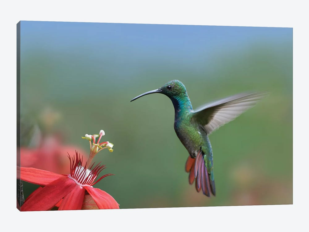 Green-Breasted Mango Hummingbird Male Foraging, Costa Rica by Tim Fitzharris 1-piece Canvas Art