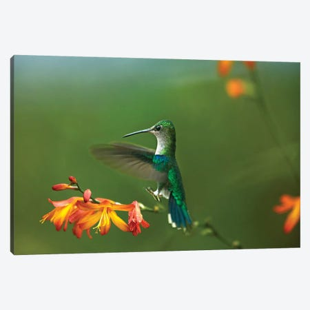 Green-Crowned Woodnymph Female Landing, Ecuador Canvas Print #TFI442} by Tim Fitzharris Canvas Wall Art