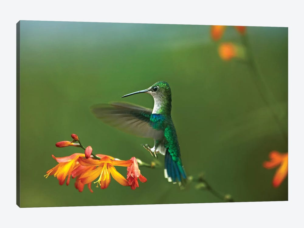 Green-Crowned Woodnymph Female Landing, Ecuador by Tim Fitzharris 1-piece Canvas Art Print