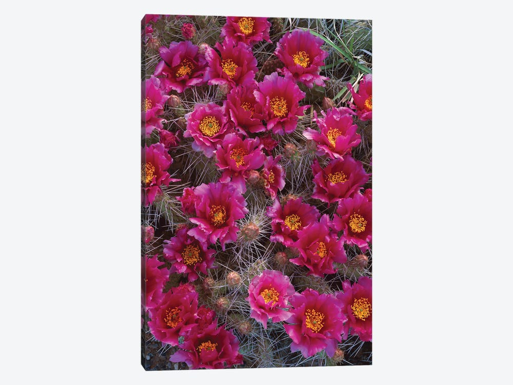 Grizzly Bear Cactus In Bloom, North America by Tim Fitzharris 1-piece Art Print
