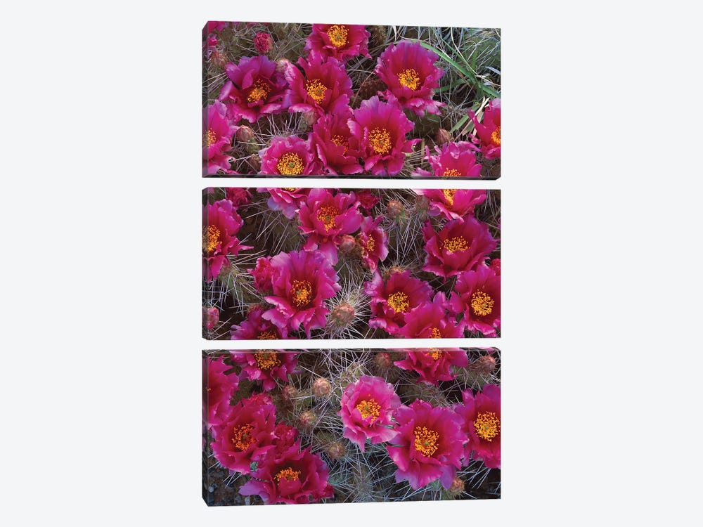 Grizzly Bear Cactus In Bloom, North America by Tim Fitzharris 3-piece Canvas Art Print