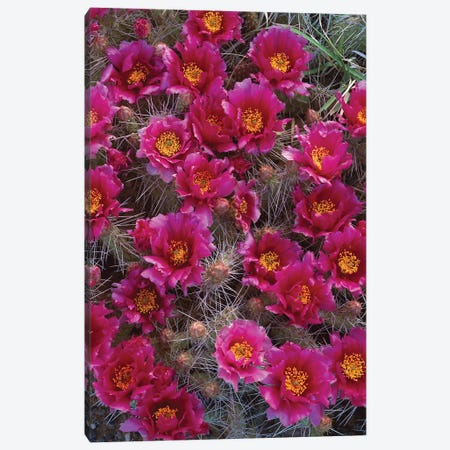 Grizzly Bear Cactus In Bloom, North America Canvas Print #TFI444} by Tim Fitzharris Art Print