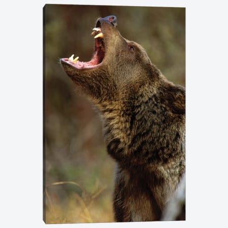 Grizzly Bear Calling, North America I Canvas Print #TFI445} by Tim Fitzharris Art Print