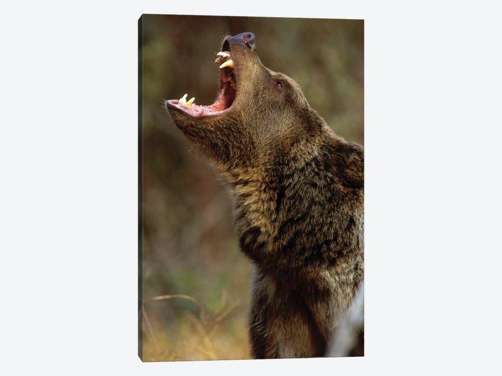 Grizzly Bear Calling, North America I by Tim Fitzharris 1-piece Canvas Artwork