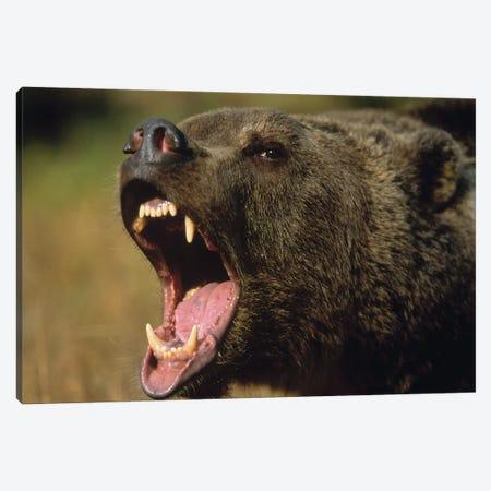 Grizzly Bear Calling, North America II Canvas Print #TFI446} by Tim Fitzharris Art Print