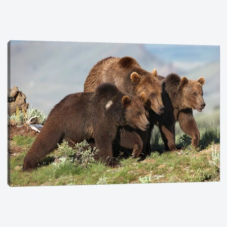 Grizzly Bear Mother With Two One Year Old Cubs, North America I Canvas Print #TFI447} by Tim Fitzharris Canvas Print