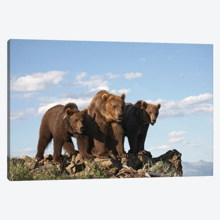 Grizzly Bear Mother With Two One Year Old Cubs, North America II Canvas Print #TFI448} by Tim Fitzharris Canvas Artwork