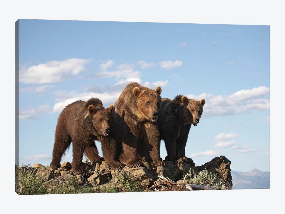 Grizzly Bear Mother With Two One Year Old Cubs, North America II by Tim Fitzharris 1-piece Art Print