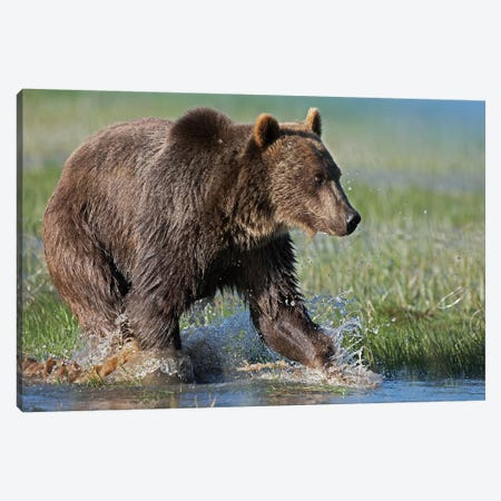 Grizzly Bear Running Through Water, North America Canvas Print #TFI449} by Tim Fitzharris Canvas Wall Art