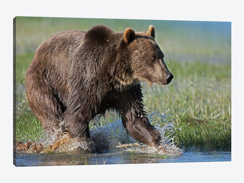 Grizzly Bear Running Through Water, North America by Tim Fitzharris 1-piece Canvas Artwork