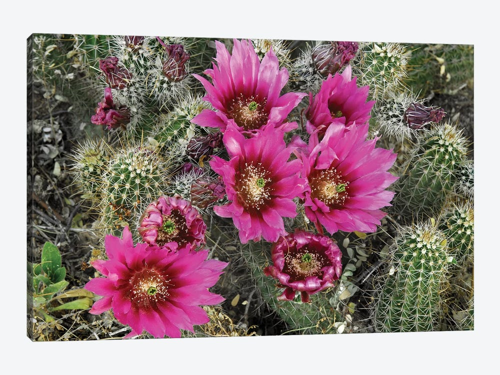 Hedgehog Cactus Flowering, Arizona by Tim Fitzharris 1-piece Canvas Art