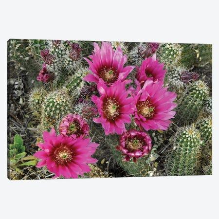 Hedgehog Cactus Flowering, Arizona Canvas Print #TFI465} by Tim Fitzharris Art Print