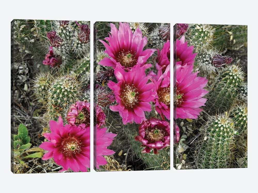 Hedgehog Cactus Flowering, Arizona by Tim Fitzharris 3-piece Canvas Artwork