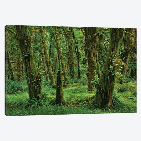 Hoh Rainforest, Olympic National Park, Washington Canvas Print #TFI469} by Tim Fitzharris Canvas Wall Art