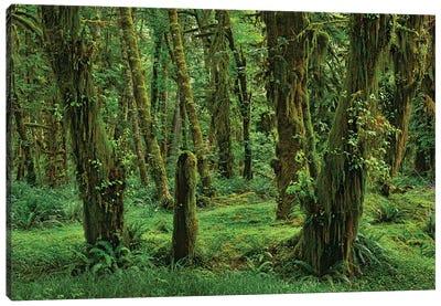 Hoh Rainforest, Olympic National Park, Washington Canvas Art Print