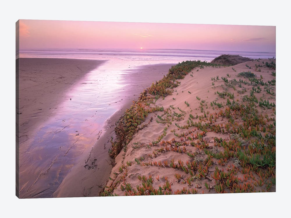 Hottentot Fig (Ice Plant) Growing In Beach Sand, Morro Strand State Beach, California by Tim Fitzharris 1-piece Canvas Wall Art
