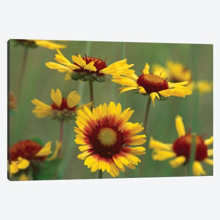 Indian Blanket Flowers, North America Canvas Print #TFI478} by Tim Fitzharris Art Print
