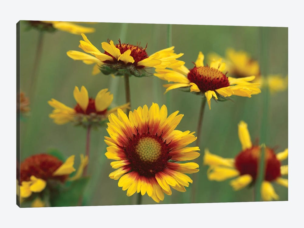 Indian Blanket Flowers, North America by Tim Fitzharris 1-piece Canvas Art