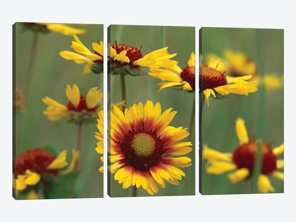 Indian Blanket Flowers, North America by Tim Fitzharris 3-piece Canvas Wall Art