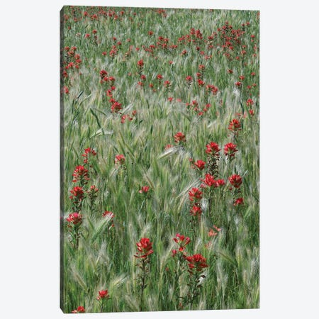 Indian Paintbrush And Foxtail Barley Field, Texas Canvas Print #TFI480} by Tim Fitzharris Canvas Art