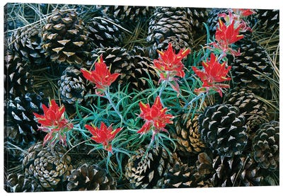 Indian Paintbrush Surrounded By Pine Cones, South Rim, Grand Canyon National Park, Arizona Canvas Art Print