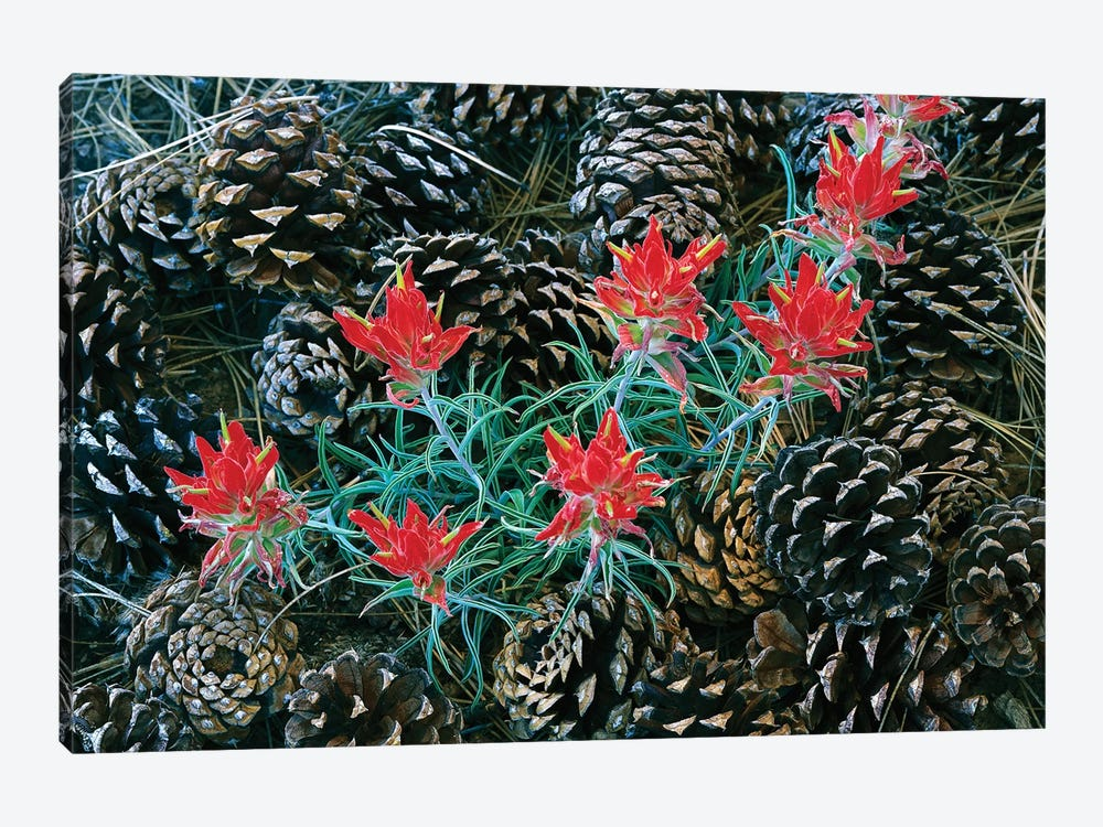 Indian Paintbrush Surrounded By Pine Cones, South Rim, Grand Canyon National Park, Arizona by Tim Fitzharris 1-piece Canvas Print