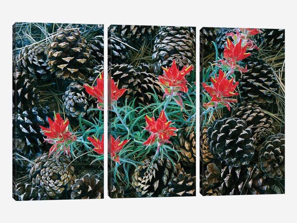 Indian Paintbrush Surrounded By Pine Cones, South Rim, Grand Canyon National Park, Arizona by Tim Fitzharris 3-piece Art Print