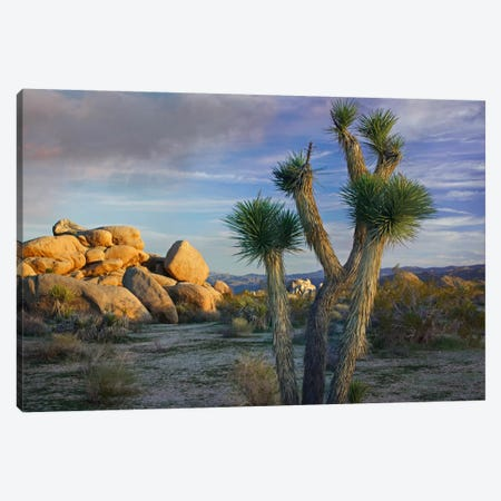 Joshua Tree And Boulders, Joshua Tree National Park, California Canvas Print #TFI485} by Tim Fitzharris Canvas Art Print