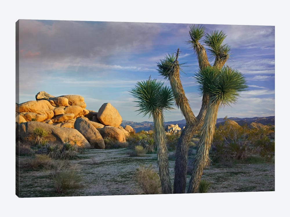 Joshua Tree And Boulders, Joshua Tree National Park, California by Tim Fitzharris 1-piece Canvas Art