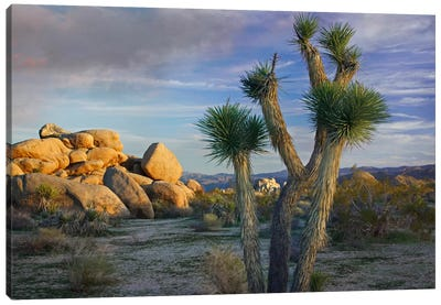 Joshua Tree And Boulders, Joshua Tree National Park, California Canvas Art Print