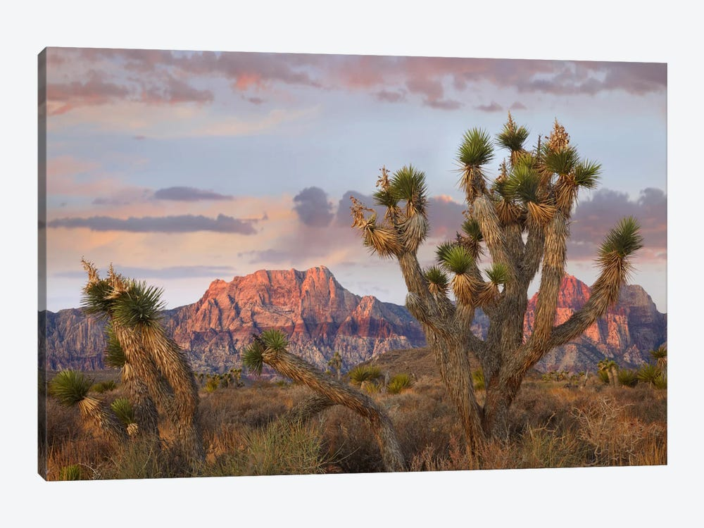 Joshua Tree And Spring Mountains At Red Rock Canyon National Conservation Area Near Las Vegas, Nevada 1-piece Canvas Print
