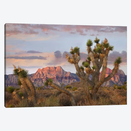 Joshua Tree And Spring Mountains At Red Rock Canyon National Conservation Area Near Las Vegas, Nevada Canvas Print #TFI486} by Tim Fitzharris Canvas Art Print