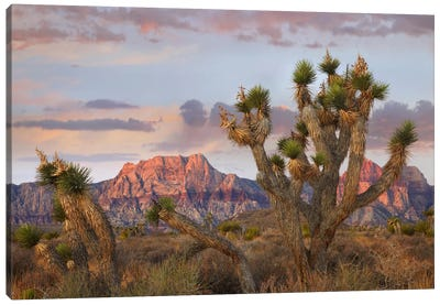 Joshua Tree And Spring Mountains At Red Rock Canyon National Conservation Area Near Las Vegas, Nevada Canvas Art Print
