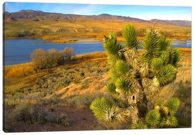 Joshua Tree And Wetlands Along The Pacific Flyway, Pahranagat National Wildlife Refuge, Nevada Canvas Art Print